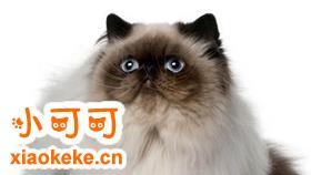 喜马拉雅猫怎么训练 猫咪训练注意事项