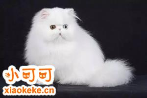 波斯猫如何训练 波斯猫训练方法