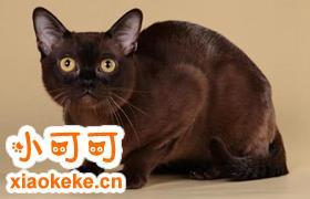 欧洲缅甸猫怎么相处 欧洲缅甸猫相处细节