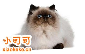 喜马拉雅猫怀孕了吃什么 喜马拉雅猫怀孕食谱