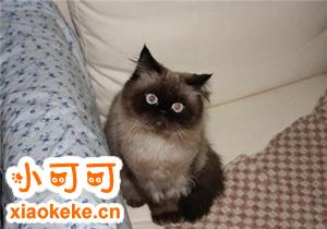 喜马拉雅猫繁殖要注意什么 喜马拉雅猫繁殖注意事项