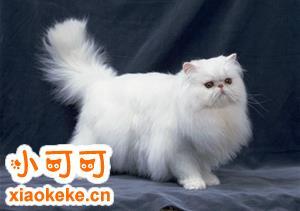 波斯猫怀孕怎么增加营养 波斯猫孕期营养补充