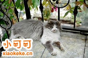 挪威森林猫孕期怎么吃 挪威森林猫孕期饮食介绍
