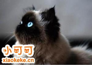 喜马拉雅猫预产期怎么推算 预产期推算方法
