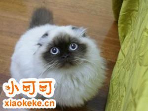 喜马拉雅猫产后怎么护理 喜马拉雅猫产后护理方法