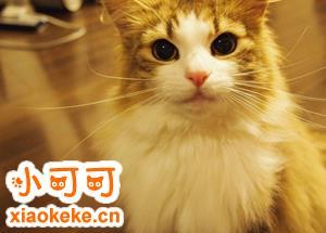 挪威森林猫初次交配要注意什么 初次交配注意事项
