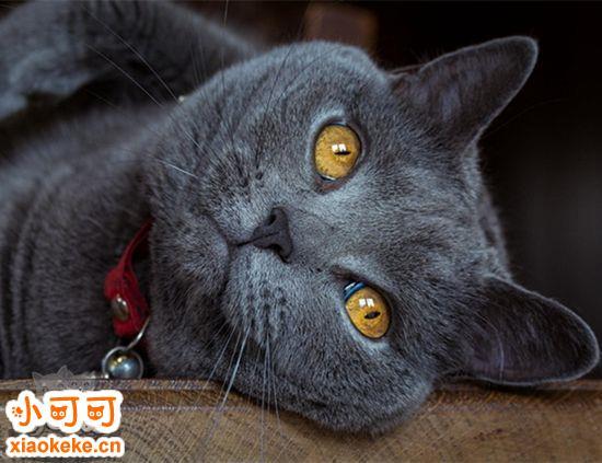 怎么判断沙特尔猫是否怀孕 沙特尔猫怀孕征兆介绍