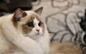 怎么给布偶猫接生 布偶猫接生知识介绍