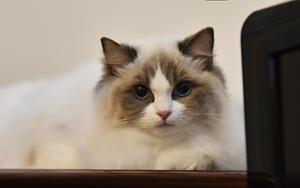 布偶猫产后怎么催乳 产后催乳四方法