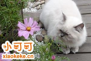 喜马拉雅猫涨奶怎么办 喜马拉雅猫涨奶解决办法