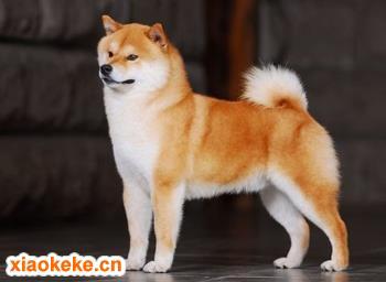 日本柴犬图片