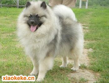 荷兰毛狮犬图片