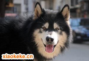 阿拉斯加雪橇犬图片