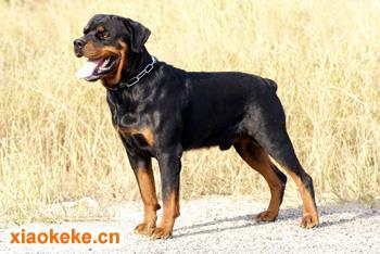 罗威纳犬图片