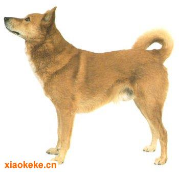 卡南犬图片