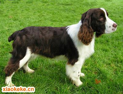 英国史宾格犬图片