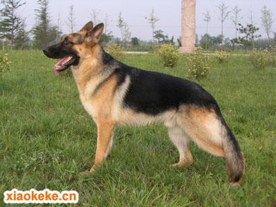 昆明犬图片