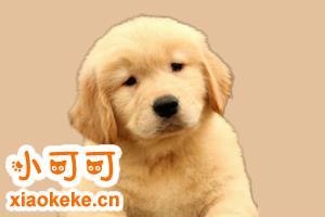 金毛狗狗有什么特征