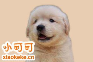 金毛幼犬有什么特征