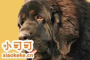 纽芬兰犬优缺点是什么