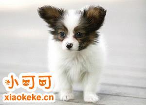 蝴蝶犬多少钱一只 蝴蝶犬价格详情
