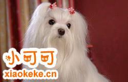 马尔济斯犬和西施犬有什么区别 西施犬和马尔济斯犬的区别