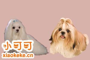 马尔济斯犬和西施犬的区别是什么