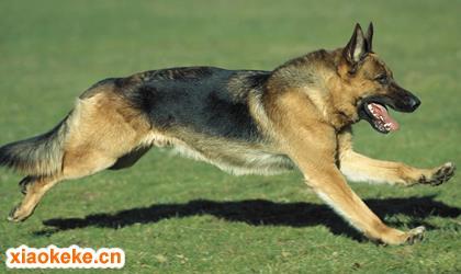 德国牧羊犬图片