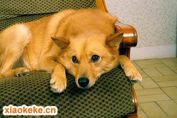 芬兰波美拉尼亚丝毛狗图片