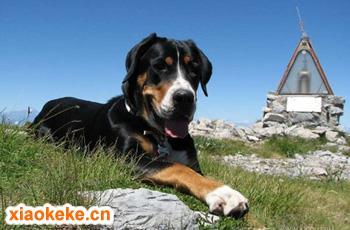 大瑞士山地犬