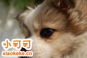 西藏猎犬怎么驱虫 西藏猎犬驱虫方法