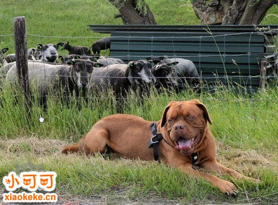 波尔多犬呕吐怎么回事 波尔多犬呕吐原因及治疗方法