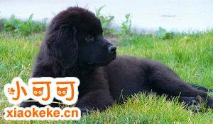 纽芬兰犬得了关节炎怎么办 纽芬兰犬关节炎症状及治疗方法