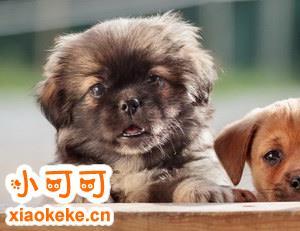 西藏猎犬有咽炎怎么治 西藏猎犬咽炎预防治疗方法