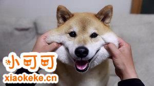 柴犬常见皮肤病有哪些 柴犬常见皮肤病症状及预防治疗方法