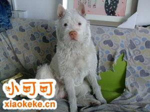 下司犬感冒怎么办 下司犬感冒治疗方法