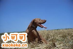 波尔多犬拉肚子怎么处理 波尔多犬拉稀处理方法