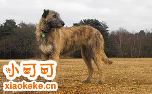 爱尔兰猎狼犬呕吐怎么处理 爱尔兰猎狼犬呕吐处理方法