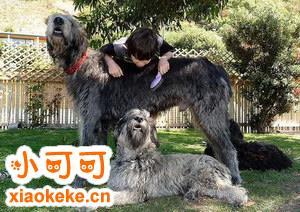爱尔兰猎狼犬拉肚子怎么办 爱尔兰猎狼犬拉稀治疗办法