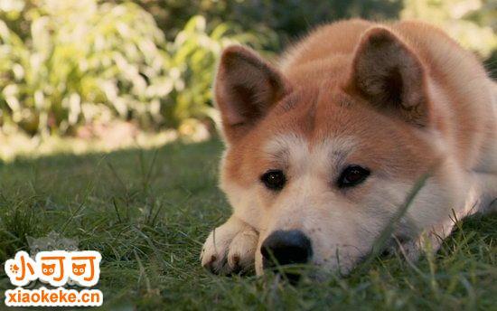 秋田幼犬得了细小怎么办 秋田幼犬得了细小治疗方法1