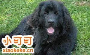 纽芬兰犬尿失禁怎么办 纽芬兰犬尿失禁处理方法