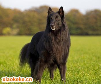 西帕基犬图片