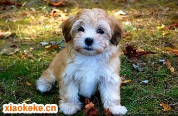 哈瓦那犬图片