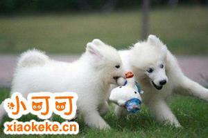 两个月银狐犬怎么养