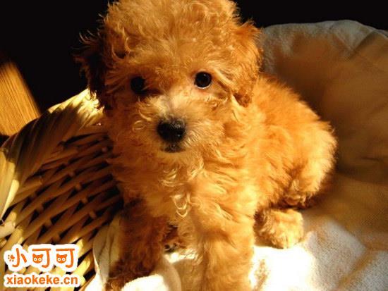 泰迪幼犬刚到家怎么照顾 泰迪幼犬饲养方法