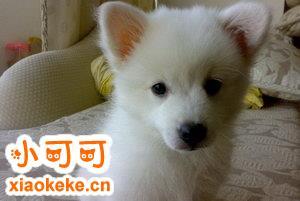 银狐犬毛发怎么养护 银狐犬毛发护理方法