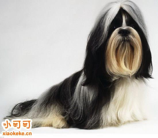 西施犬幼犬怎么养 西施犬饲养方法3