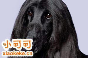 阿富汗猎犬毛怎么打理