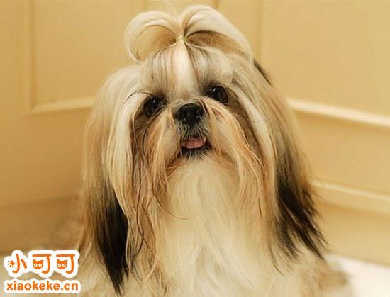 西施犬幼犬怎么养 西施犬饲养方法2