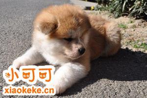 秋田犬幼犬怎么喂养